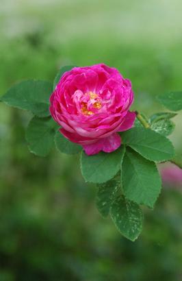 trebert landschaftsarchitektur gartenseminare besondere pflanzen rosen rosa. Black Bedroom Furniture Sets. Home Design Ideas
